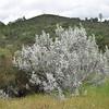 Silvery bush