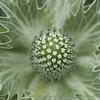 Close Up of Prickly Flower at Ballard Locks