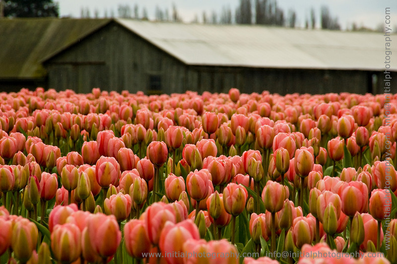 Tulip Town, Laconner Washington