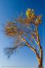 Magnolia tree #2
