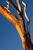Magnolia tree #1