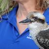 Kookaburra, native to Austraila