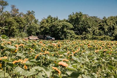 BPFSunflowers20193