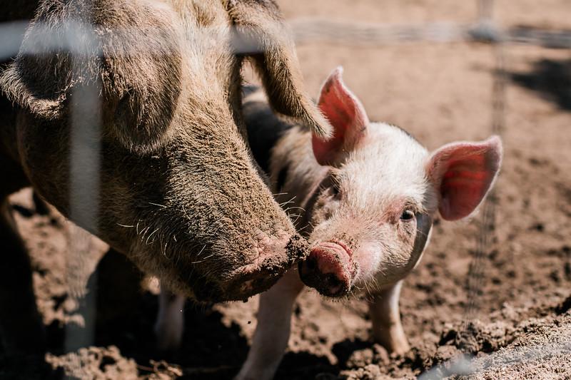 Pigs20196