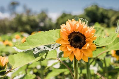 Sunflower20191
