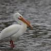 American White Pelican (Pelecanus erythrorhynchus)<br /> Legg Lake<br /> March 25, 2012