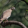 White-winged Dove<br /> Patagonia, Arizona
