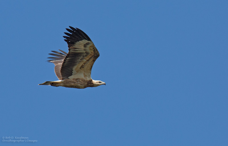 White-bellied Sea Eagle - immature<br /> Mt. Palay-palay<br /> November 14, 2015