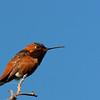 Allen's Hummingbird (Selasphorus sasin sasin)<br /> Sycamore Canyon<br /> April 30, 2005
