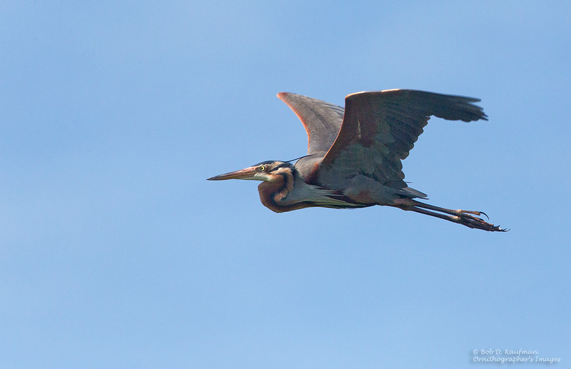 Purple Heron<br /> Candaba<br /> December 26, 2014