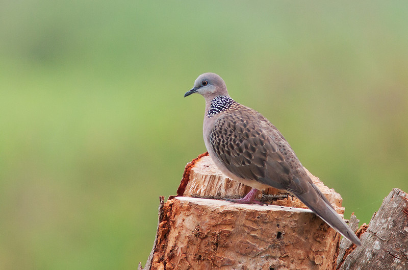 Spotted Dove<br /> Candaba, Feb. 5, 2011
