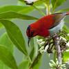 Temminck's Sunbird<br /> Kinabalu Park, June 18, 2011
