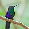 Violet-crowned Woodnymph<br /> Costa Rica<br /> March 7, 2018