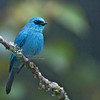Verditer Flycatcher<br /> Fraser Hill, Feb. 21, 2013