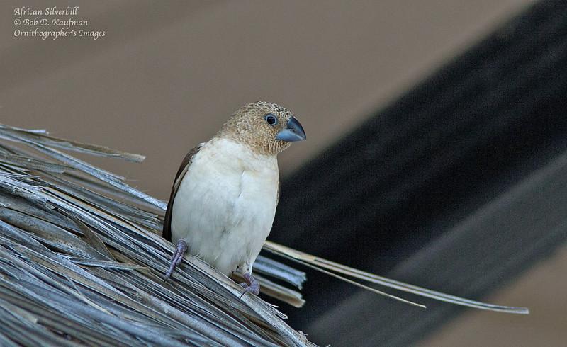 African Silverbill<br /> Kona, HI<br /> March 28, 2012