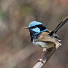 Superb Fairy Wren<br /> Sydney<br /> October 14, 2016