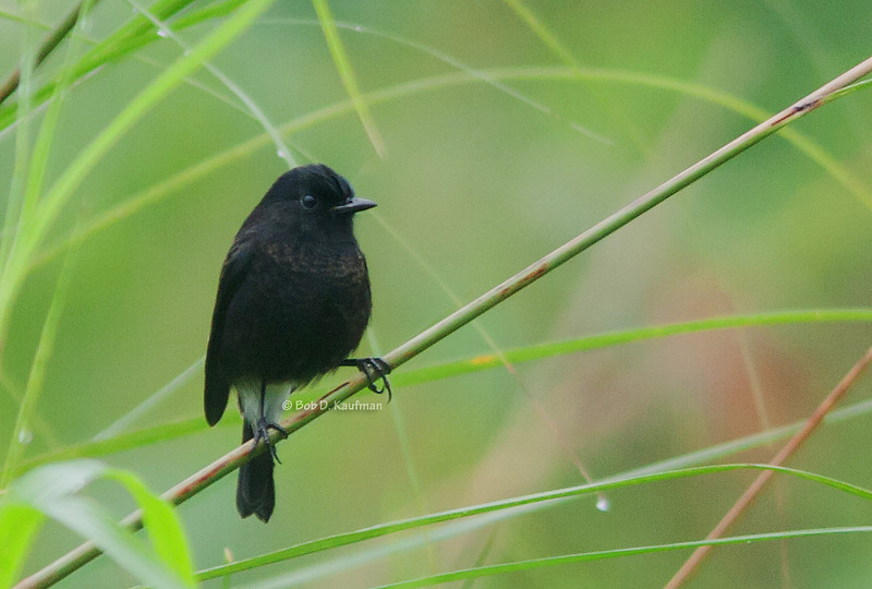 Pied Bush Chat<br /> Antipolo<br /> October 8, 2011