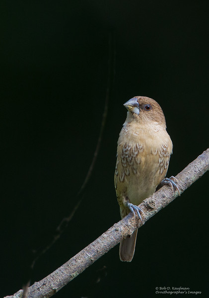 Scaly-breasted Munia<br /> Antipolo<br /> October 3, 2015