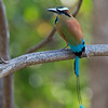 Turquoise-browed Motmot<br /> Costa Rica<br /> March 9,  2018