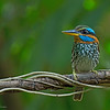 Spotted Wood Kingfisher<br /> UPD<br /> February 13, 2016