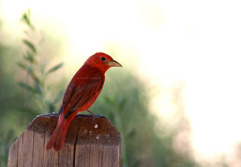 Summer Tanager<br /> Morongo<br /> June 19, 2005
