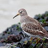 Rock Sandpiper<br /> Playa del Rey<br /> December 15, 2006