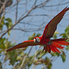 Scarlet Macaw<br /> Costa Rica<br /> March 8, 2018