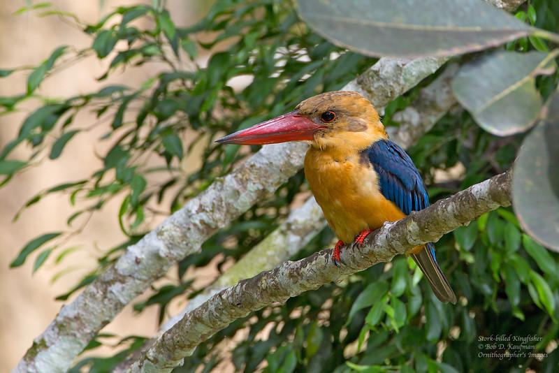 Stork-billed Kingfisher (Pelargopsis capensis) <br /> Sepilok Jungle Resort, August 8, 2013