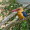Stork-billed Kingfisher (Pelargopsis capensis) <br /> Sepilok Jungle Resort, August 8, 2013