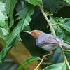 Ashy Tailorbird<br /> Sepilok, Sabah<br /> August 9, 2013