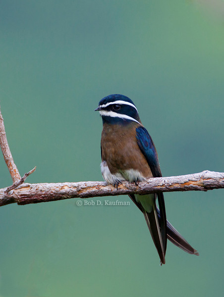 Whiskered Treeswift<br /> Mt. Palay-palay<br /> August 14, 2010