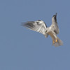 White-tailed Kite<br /> San Jacinto Wildlife Refuge, California