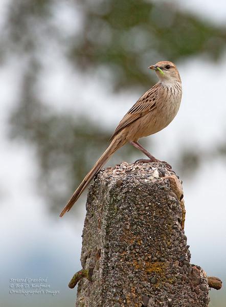 Striated Grassbird<br /> Candaba, Feb. 2, 2013