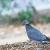 Band-tailed Pigeon<br /> Los Angeles Arboretum<br /> March 26, 2014