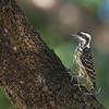 Philippine Pygmy Woodpecker<br /> U.P. Diliman, Oct. 29, 2011
