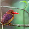 Ruddy Kingfisher<br /> Coron, Oct. 10, 2012