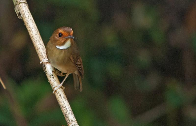 Rufous-browed Flycatcher<br /> Fraser Hill, Feb. 22, 2013