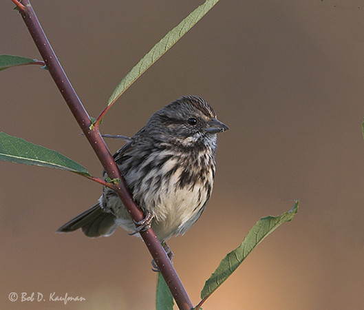Song Sparrow<br /> Whittier Narrows, Oct. 28, 2006