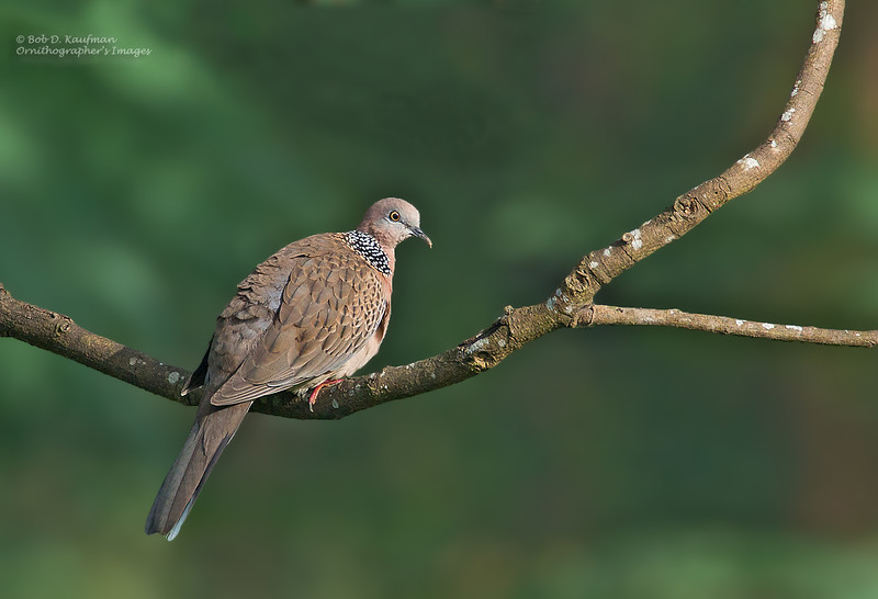 Spotted Dove<br /> Antipolo<br /> December 6, 2014