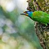 Taiwan Barbet<br /> Mt. Hutao, Taiwan<br /> April 10, 2014