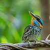 Spotted Wood Kingfisher<br /> U.P. Diliman<br /> February 13, 2016
