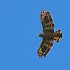 Philippine Serpent Eagle<br /> Davao<br /> November 6, 2012