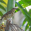 White's Thrush<br /> LMEP<br /> January 25, 2014