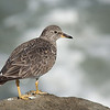 Surfbird<br /> Playa del Rey, Mar. 23, 2013