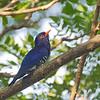 Violet Cuckoo - male<br /> La Mesa Ecopark<br /> November 21, 2015