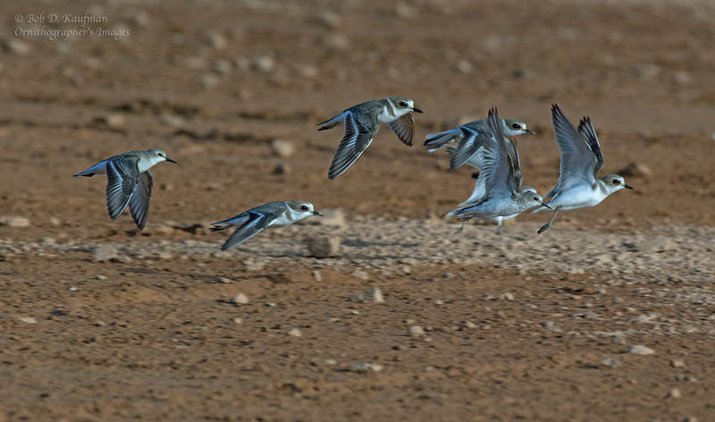 Rufous-necked Stints and Kentish Plovers<br /> Coron, Oct. 11, 2012