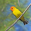 Western Tanager<br /> Morongo