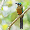 Whooping Motmot<br /> Panama<br /> April 2016