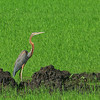 Purple Heron<br /> Candaba<br /> November 29, 2014