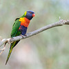 Rainbow Lorikeet<br /> Sydney<br /> October 13, 2016